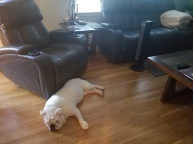 Climate / Neuromyelitis News / Photo of an English bulldog sleeping on the floor in front of a fan.
